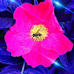 blue rose tenderness romanticism nature