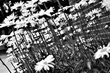 black & white flower daisy spring nature
