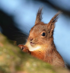 scotland squirrel nature photography