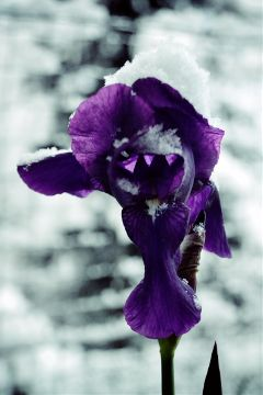 strangeseason winter flower violet snow